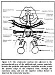 oculomotor nerve1