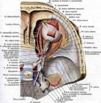 oculomotor nerve3